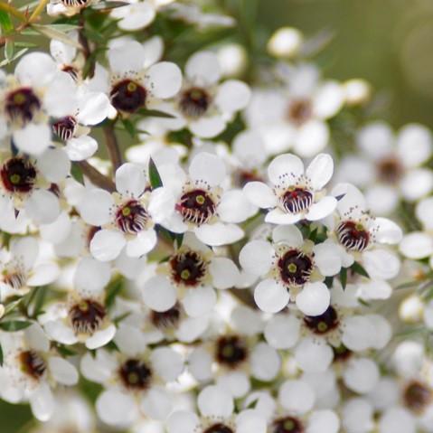 ニュージーランドにしか見られないマヌカの花から採取される、希少なハチミツをマヌカハニーと呼びます。マヌカハニーは強力な抗菌性を持っており、その抗菌作用により、古くから歯周病、口内炎、皮膚疾患、外傷の治療、十二指腸潰瘍、胃腸炎、胃がん等の治療や予防に利用されています。