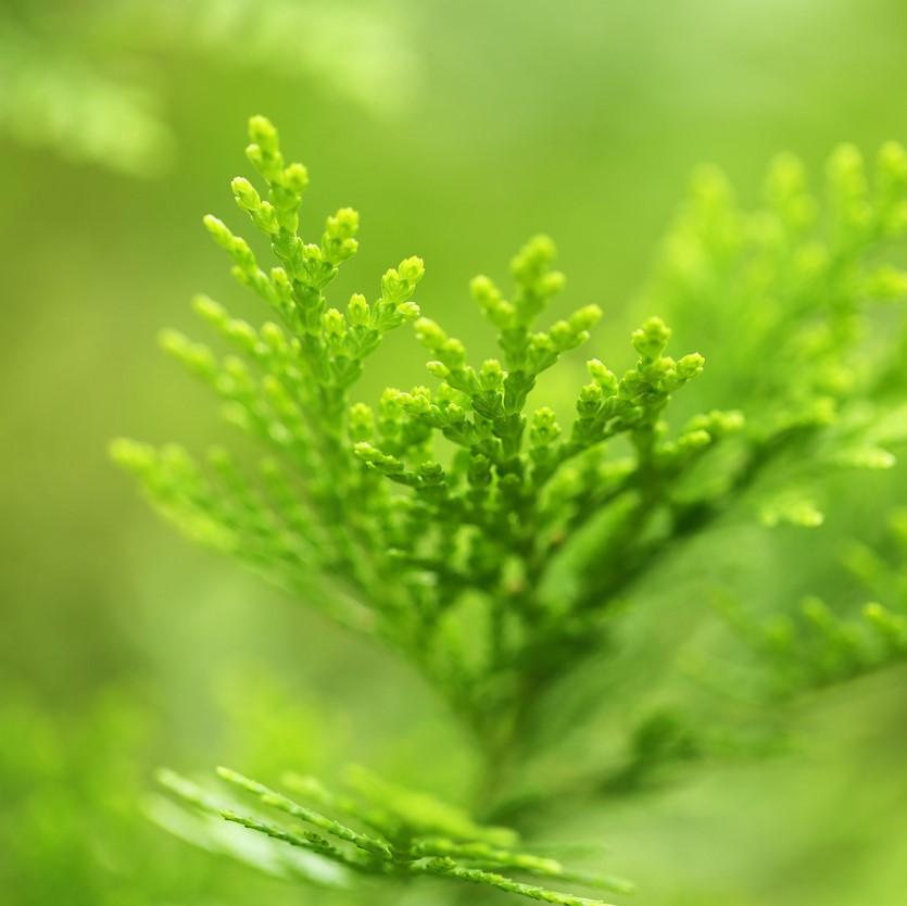ヒバに含まれる天然成分でヒノキチオールを含み、防虫性に優れています。 また、除菌性にも優れ、カビやダニの繁殖を抑える効果があるとされています。