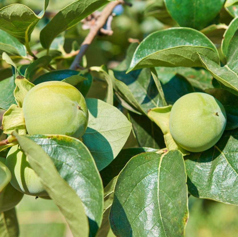 柿や柿渋は抗菌力が高く、昔から生活の知恵として利用されてきました。例えば柿の葉寿司などは柿がもつチカラで品質を保っています。柿渋は、渋柿の青い未熟果を潰し、圧搾してできる液体を発酵させて作られます。 柿渋の主成分は高分子のタンニンであり、この柿タンニンの様々なパワーが解明されるとともに、消臭能力においても特にアンモニア臭や硫化水素臭などに消臭効果を発揮することが明らかになっています。