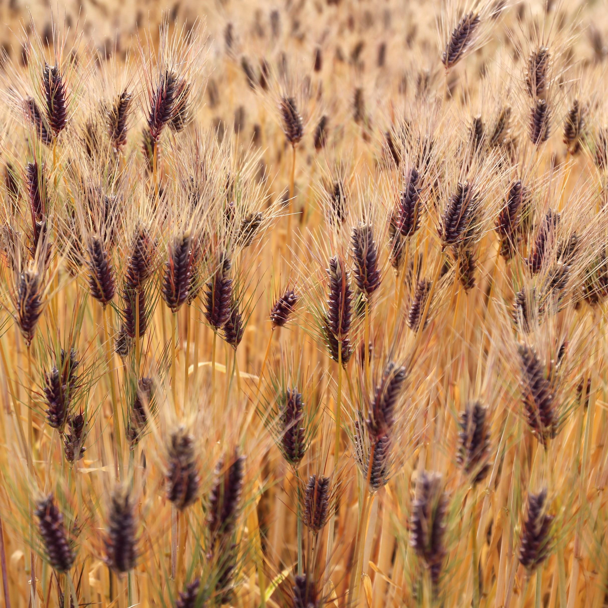 「弘法大師が唐から麦の種を持ち帰った」という伝説が残るほど、香川県善通寺市では古くからもち麦が盛んに栽培されていました。善通寺市にゆかりのある弘法大師にちなんで「ダイシモチ」と名付けられました。紫色の穂が特徴で、アントシアニンという色素により、穂や麦わらの外皮が 紫色に着色するため、収穫時期には田畑一面が紫色に染まります。