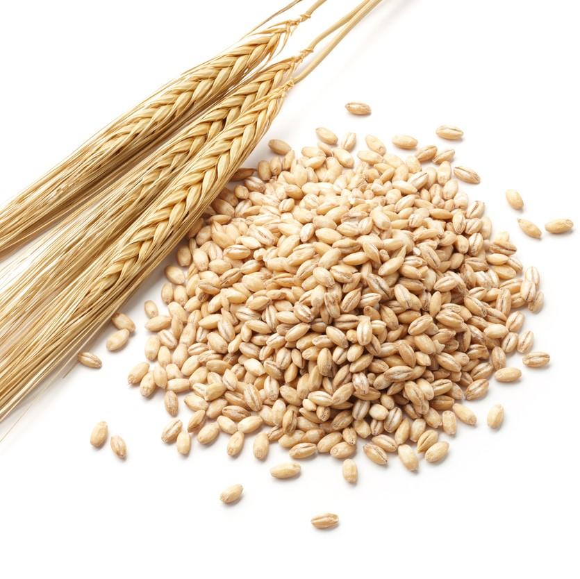 麦には、いろいろな種類がありますが、大麦は小麦と比べて粘度が低く、犬には良質なタンパク質です。カナダ産で遺伝子組み換えしていないものを使用しています。