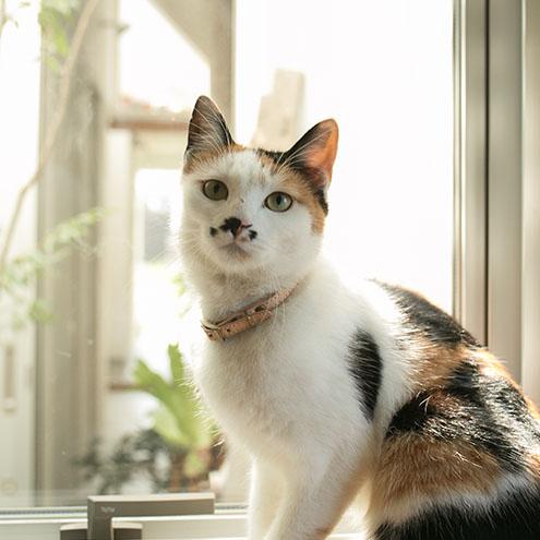 犬用首輪と比べてリードをつけるDカンがなく、首輪巾を8mmと細くして軽量化しているため、仔猫から老猫まで負担が少なくつけていただけます。安全性を考慮し、バックルは強度の低いものを使用しています。シンプルな首輪だからこそ、猫種や毛色を選ばず、どんなネコちゃんにも似合います。猫に首輪をつけることは、予期せぬ災害や脱走などで愛猫が迷子になってしまったとき、首輪をしていることで野良猫と間違えられることを防ぐことができます。※猫の特性や、個体ごとの性格に合わせて、安全で適切につけてあげてください。