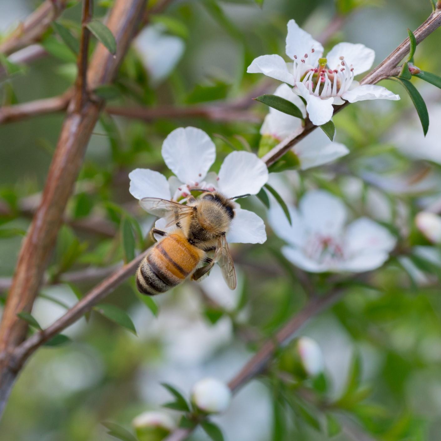 ニュージーランドにしか見られないマヌカの花から採取される、希少なハチミツをマヌカハニーと呼びます。マヌカハニーは強力な抗菌性を持っており、その抗菌作用により、古くから歯周病、口内炎、皮膚疾患、外傷の治療、十二指腸潰瘍、胃腸炎、胃がん等の治療や予防に利用されています。マヌカハニーに含まれる抗菌物質は「食物メチルグリオキサール(MGO)」というものです。これは一般的なハチミツにはほとんど含まれておらず、マヌカハニーの最大の特徴となります。また、マヌカハニーに含まれるシリング酸メチルは活性酸素を除去する強力な抗酸化作用がある事がわかっています。歯にパスタは、ニュージーランド産MGOマヌカハニー(マヌカヘルス社 最高レベル550+)を使用しています。
