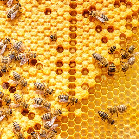 ミツバチがいろんな樹木から集めてきたものがプロポリスです。プロポリスには優れた抗菌作用をもつ成分が含まれ、天然の防衛物質と呼ばれます。